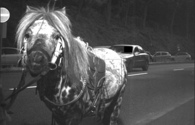 Pferd läuft in Blitzer - Das Raser-Pony